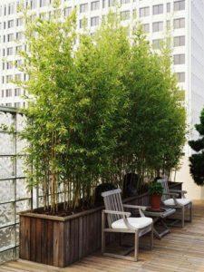 Bambusy w doniczkach na tarasie
